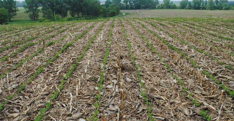 No-till field of soybeans