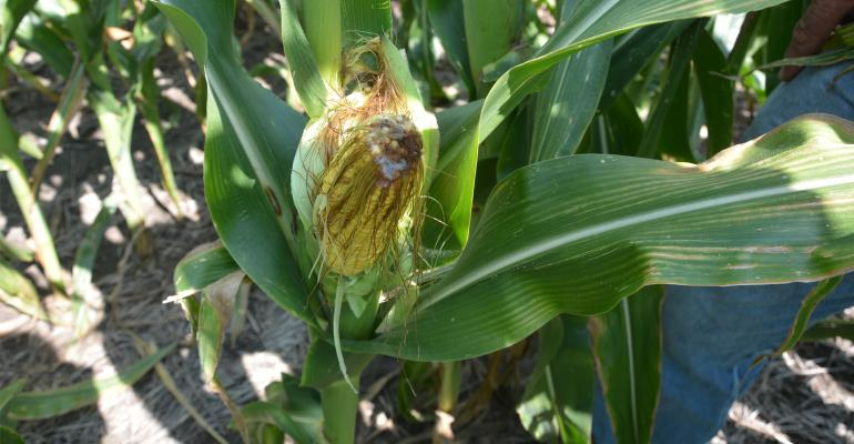 closeup of damage to corn kernels from drought