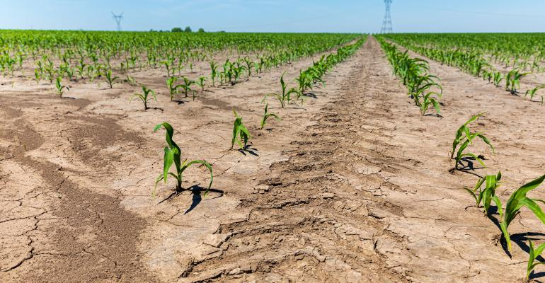 tractor tire marks between rows of young corn