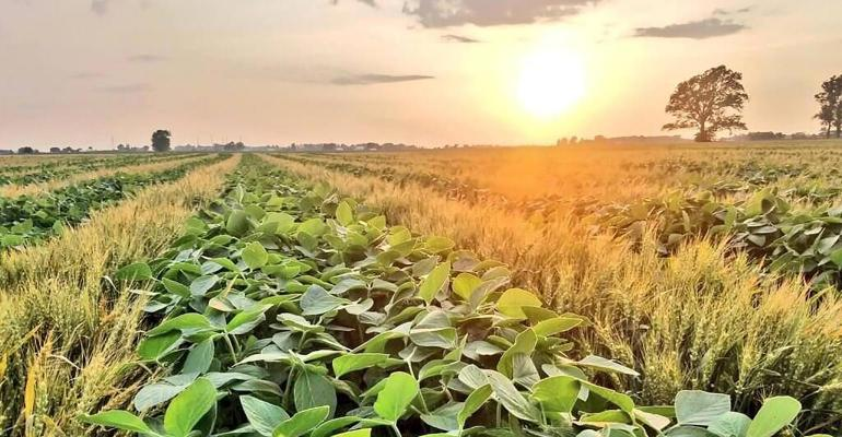 Alternating rows of soybeans and wheat with an orange sunset on the horizon