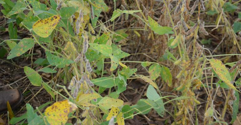 soybean plants with symptoms of fungal and bacterial disease