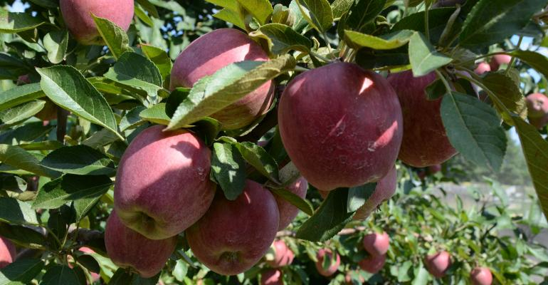 Close up of apples in orchard
