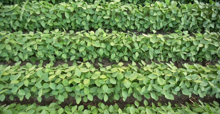 overhead view of green soybean plants in straight rows