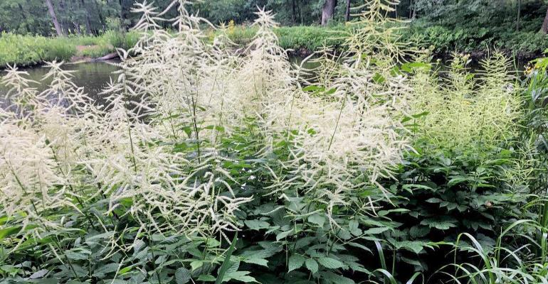 cream-colored feather plume of perennial goatsbeard plant