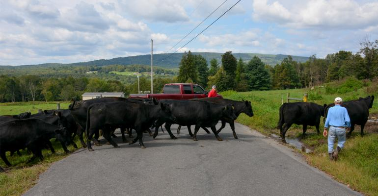Richard and Phil Coombe lead a herd across a road at Thunder View Farms