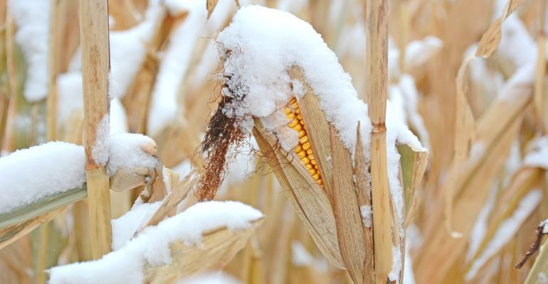 snow-covered ear of corn still on stalk