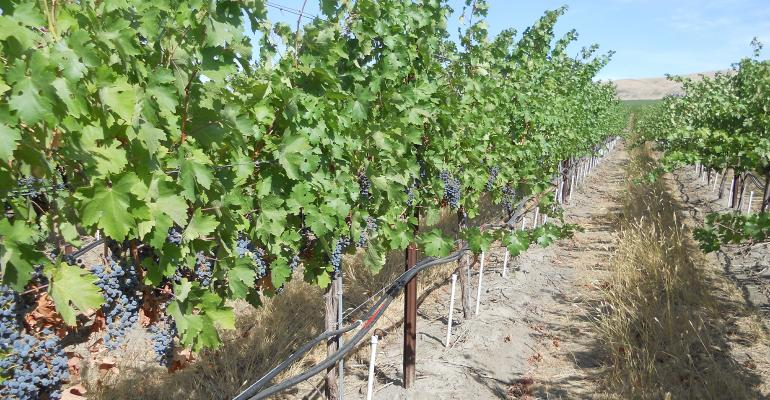 Direct Root Zone irrigation tubes attached to grape vine trunks