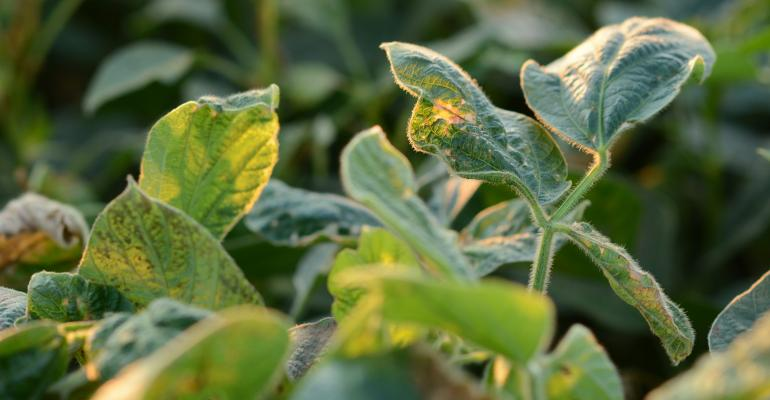 soybean plant with dicamba damage