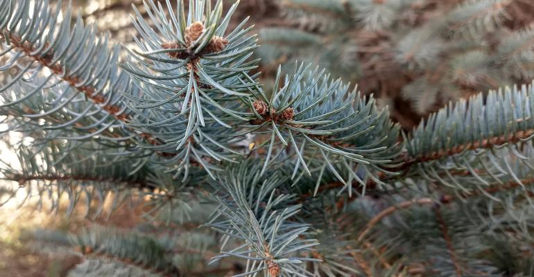 closeup of Colorado blue spruce
