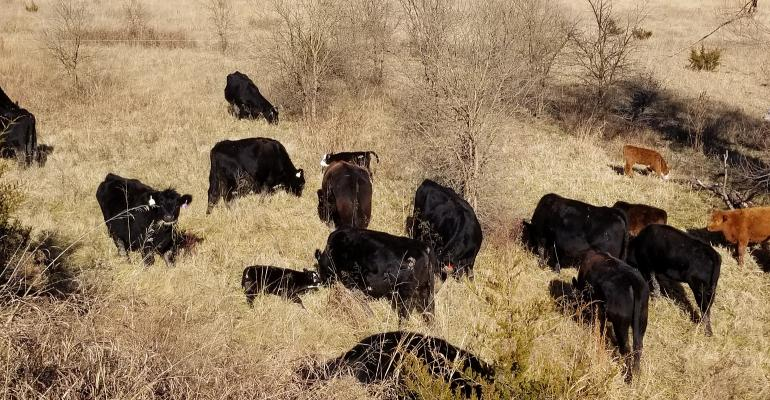 Cattle grazing dormant winter forage