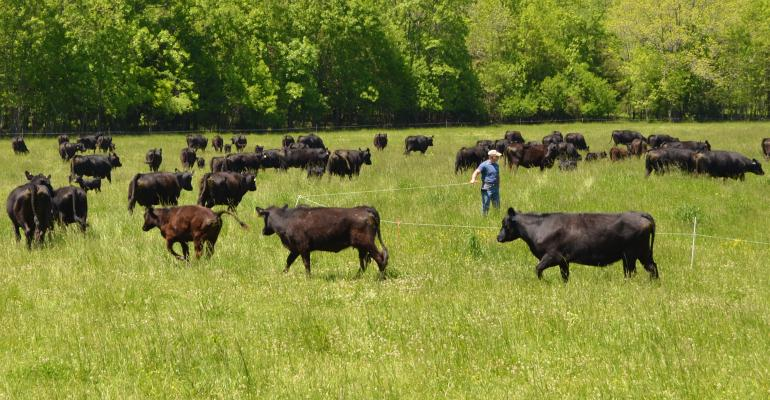 Cattle moving to a new paddock