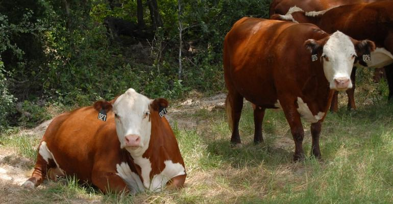 Small-framed cows