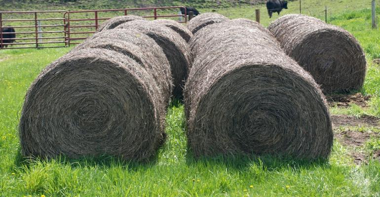 Hay and beef cattle