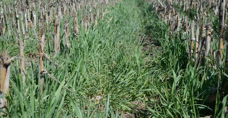 cover crops in field between corn crop