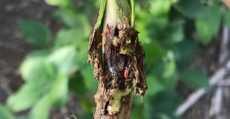 A plant affected by soybean gall midge is seen in eastern Nebraska