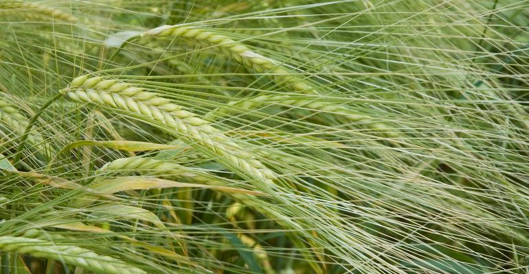 closeup of barley plants