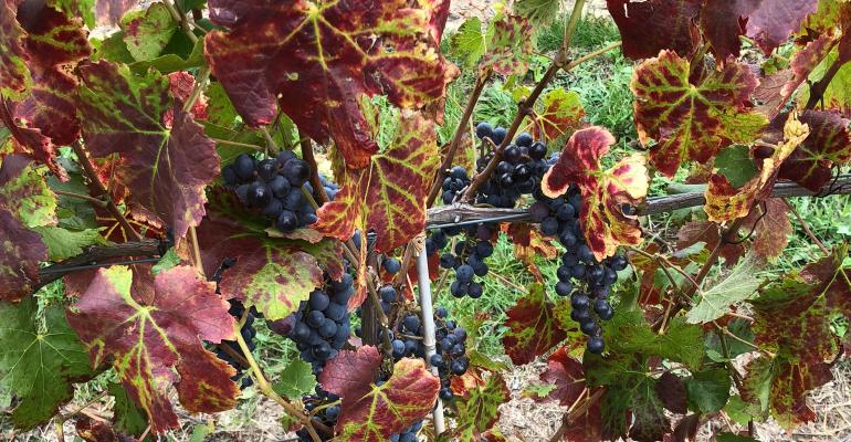 A 'Pinot Noir' vine is pictured here with leafroll-like symptoms
