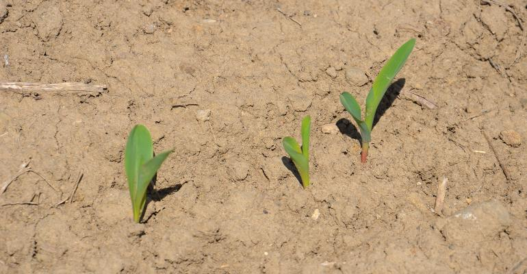 corn seedlings in field