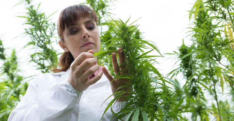 Female scientist in a hemp field examining plants