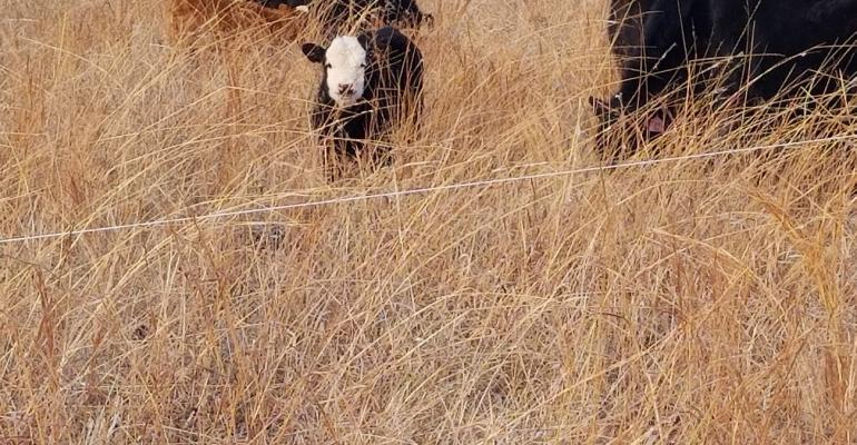 Calves and cows in tall, stockpiled grass