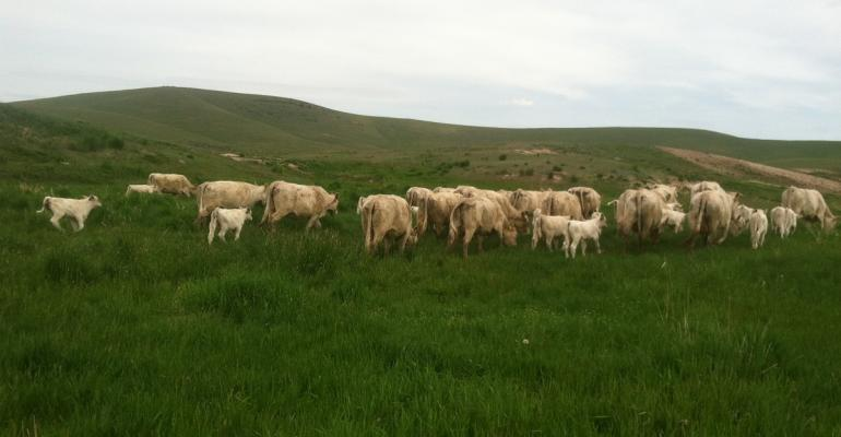Heifers graizng on green pasture