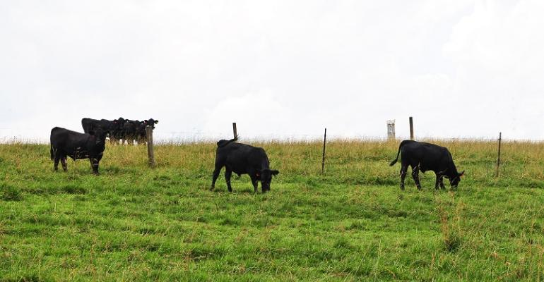 Cattle grazing fescue