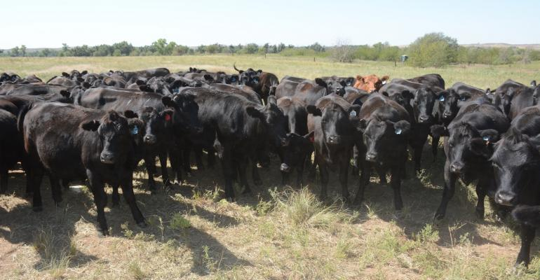 Black cattle selected for their environment