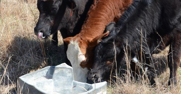 Calves eating mineral