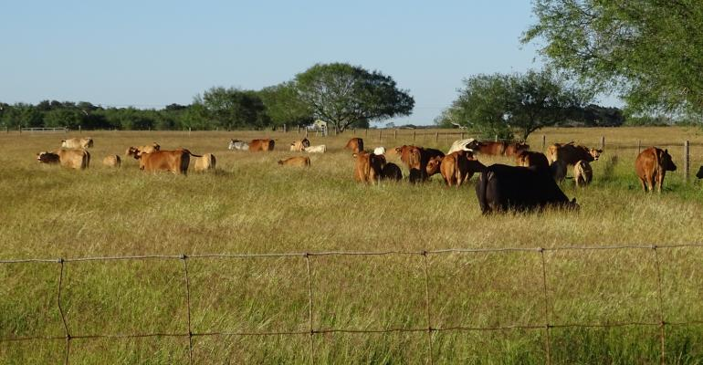 Cattle grazing on Lukefahr ranch in Texas