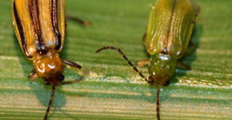5.31 adult western corn rootworm