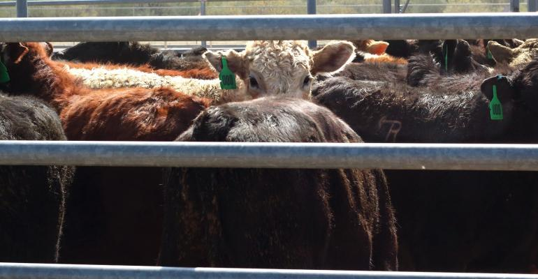 Cattle in auction pens