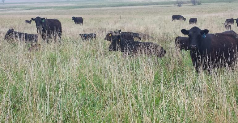 Chad Njos cattle in dense, tall forage