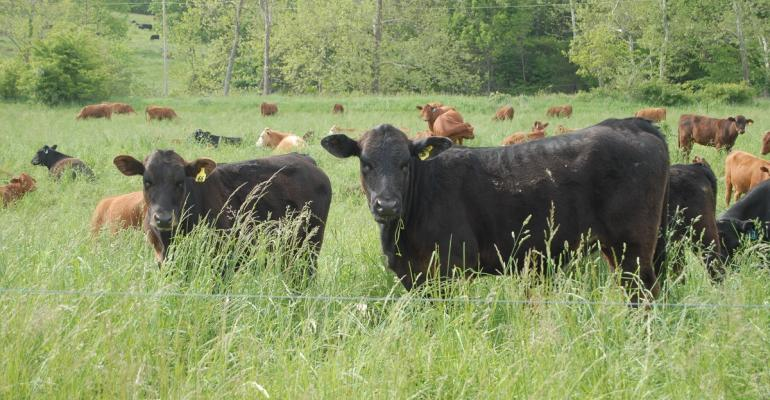 Cattle in healthy forage