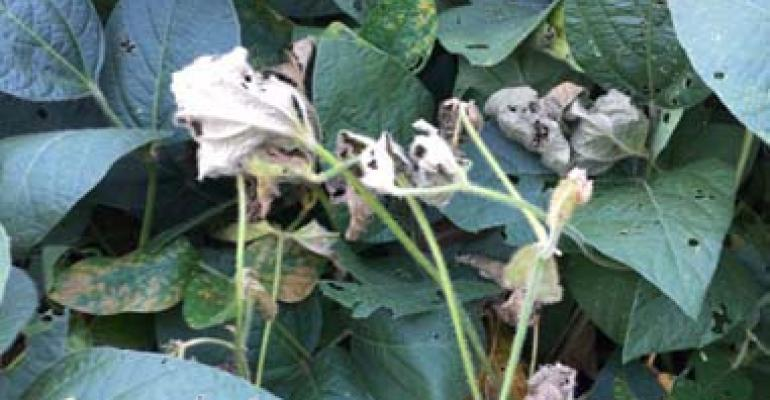 What to Do if I Have White Mold in Soybean?