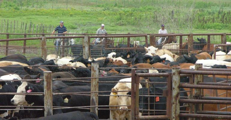 Stocker calves being gathered into corral