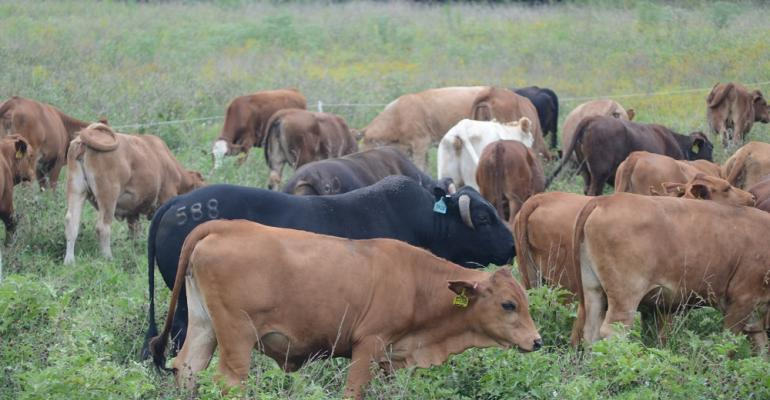 Cattle bunched and grazing
