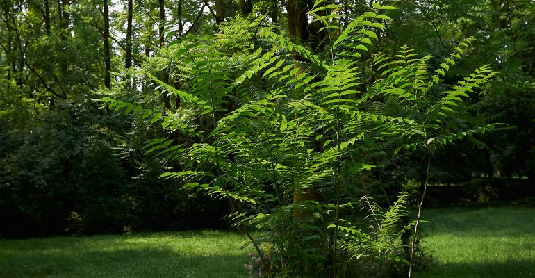 Ailanthus-altissima-GettyImages-1005560680-web.jpg