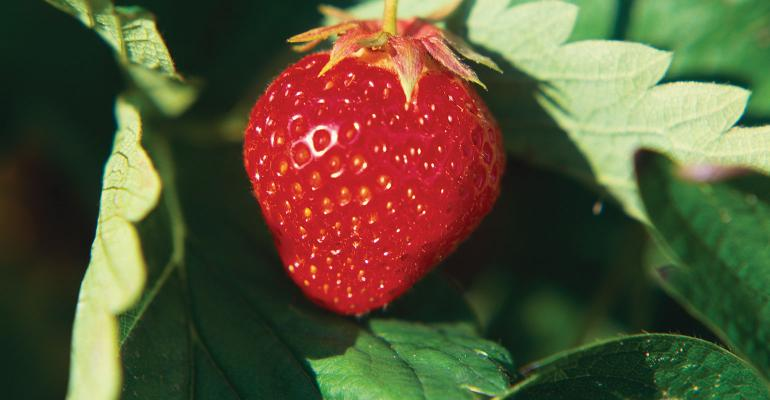 BASF_Strawberry_1540x800