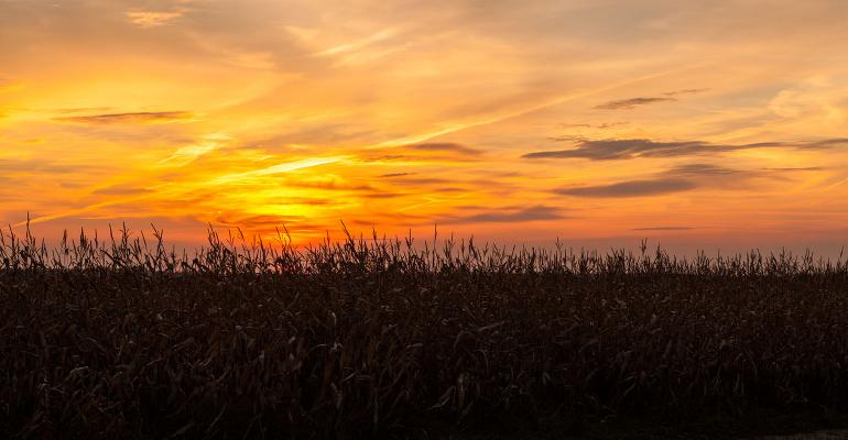 rn field before harvesting at beautiful colorful sunset