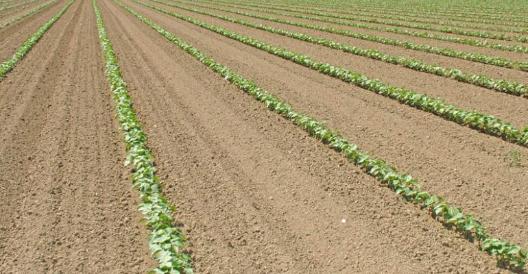 Wide row, 60-inch cotton on tomato beds shows promise