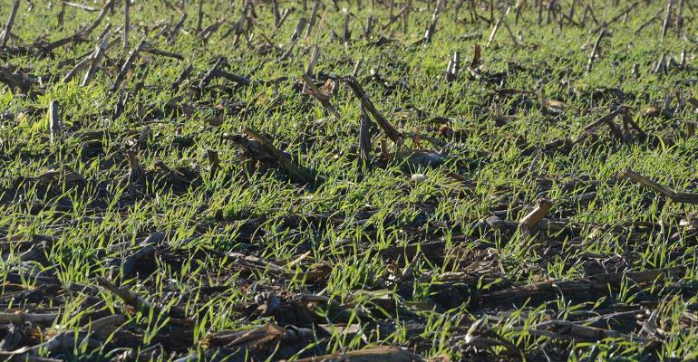 corn stalks in rye cover crops