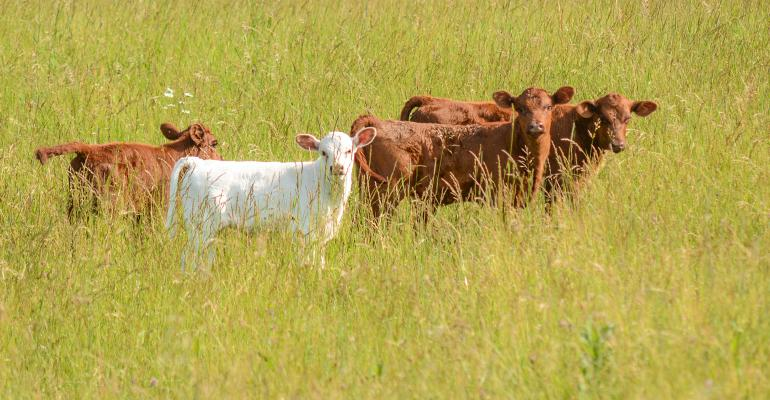 3 red calves and 1 white calf in pasture