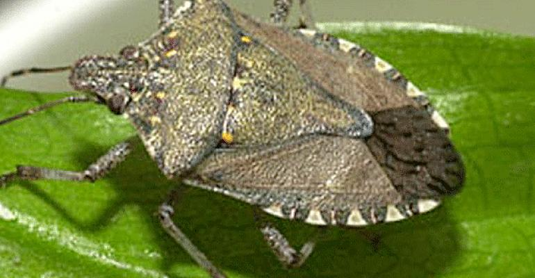 Brown marmorated stink bug - Soybean Webcast