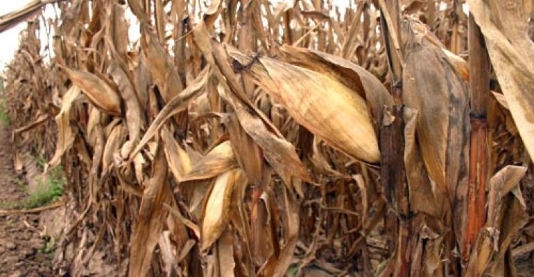 Enzyme-producing corn key to cellulosic ethanol?