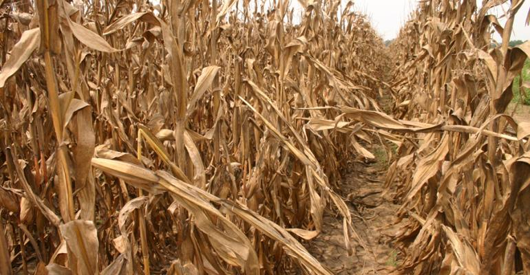 Drought-stressed corn concerns