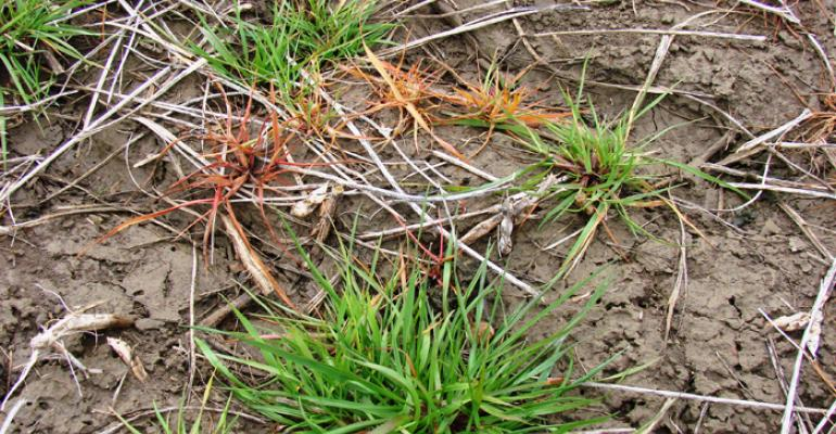 How to manage glyphosate-resistant Italian ryegrass