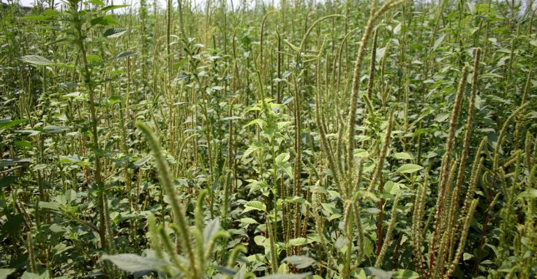 2011: year of the pigweed?