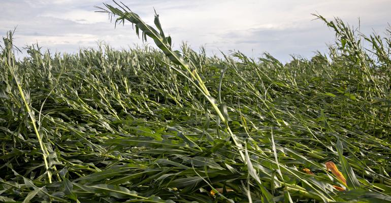 Corn plants lie on the ground following a derecho storm near Polo, Illinois, on Aug. 10, 2020. The storm brought wind gusts of near 100 mph to Iowa and Illinois.