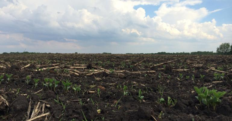 These emerging soybeans were planted into a minimumtill field in Nicollet County Minn