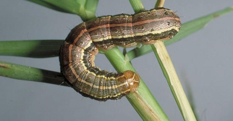 Extension-armyworms-Drees-web.jpg